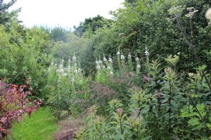 White Rosebay Willowherb